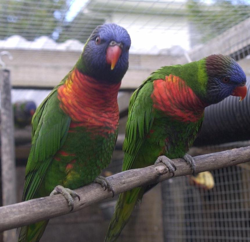 how to tell if a rainbow lorikeet is sick
